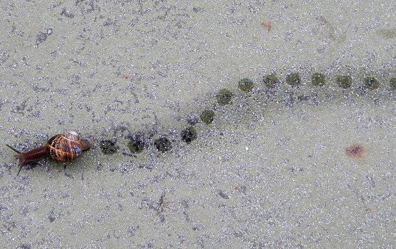 Flema, o baba de caracol